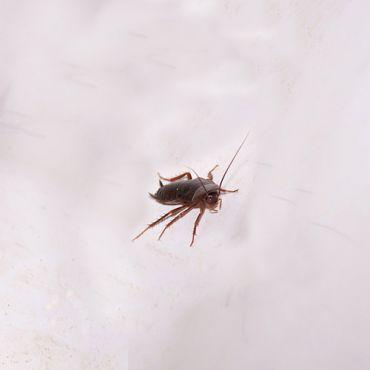 La cucaracha: Una superviviente nata